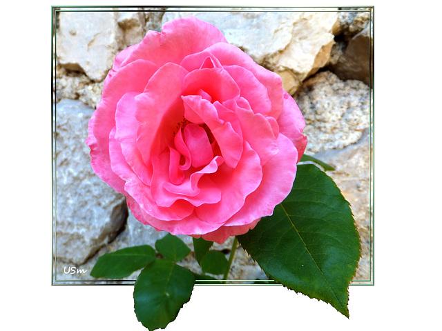 Rose aus dem Süden.  ©UdoSm