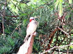 Carrying Twigs For Nest.