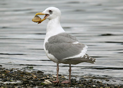 Glaucous-Winged Gull with Box Lunch