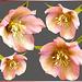 Collage Christrose / Schneerose (Helleborus niger)... ©UdoSm