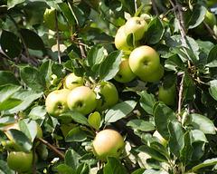 cueillons des pommes