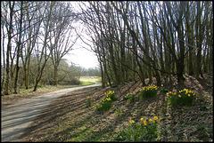 Grandpont daffodils