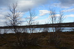 Norway, Northern Birch Trees on the Banks of Kautokeino Elva
