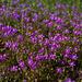 Spergularia purpurea, Caryophyllales