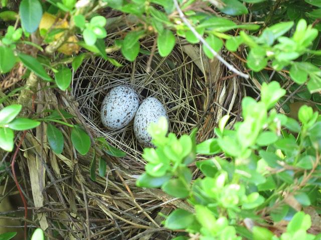 Cardinal nest - 11 April 2020