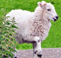 Young lamb (2 of 2).