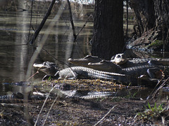Alligators enjoying spring sunshine