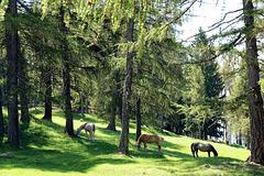 Pferde im Lärchenwald (Leadneralm)