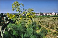 Ifriane - Wild fennel
