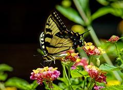 7242468 DxOd CropLL · Butterfly