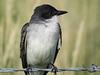 Eastern Kingbird, SW of Calgary