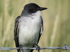Eastern Kingbird, SW of Calgary