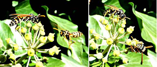 Wasps among themselves... ©UdoSm