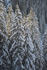 Silvretta Montafon, Firs under the Snow