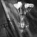 tulips in  window light