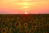 Sonnenblumen im Abendrot