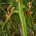 Diuris palustris