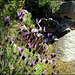 Mountain stream, granite and Spanish lavender.