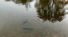 - catfish getting their share of Pond Chow