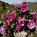 Peonia officinalis: Pivoine officinale : Peony