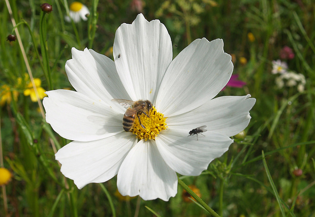 Insect life on white cosmos.