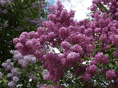 Сирень цветет (Корсунь-Шевченковский парк)