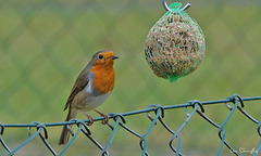 Rotkehlchen... Robin...