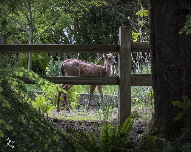 Pictures for Pam, Day 195: HFF: Deer Behind Fence!