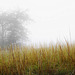 Federgras in Nebellandschaft - Feather gras in misty landscape
