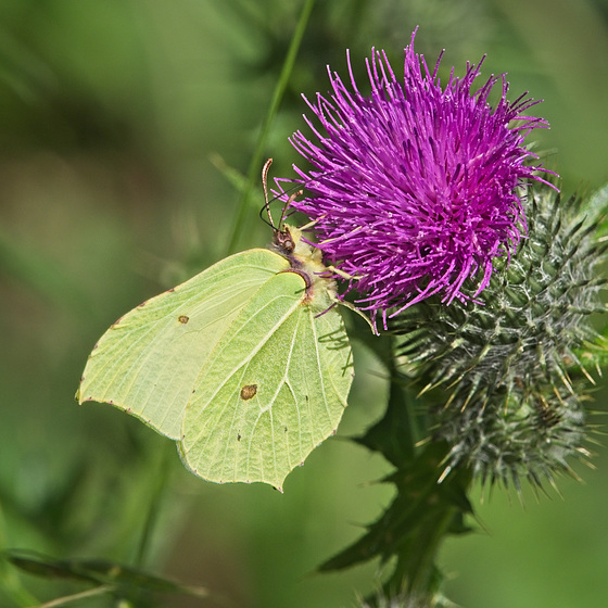 Brimstone Butterfly on a Thistle