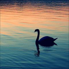 Swan at sunset.