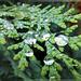 Regentropfen auf einem Zypressenzweig. ©UdoSm