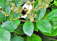 Bumble Bee On Climbing Rose