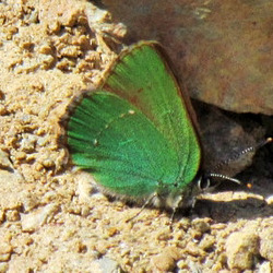 Green Hairstreak 05