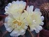 Nottocactus maggrificus