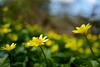 Ranunculus ficaria, Bois de Vincennes