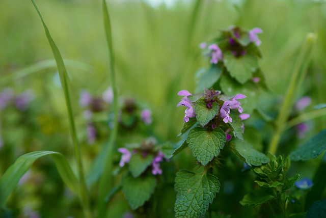 Lamium purpureum, Bois de Vincennes