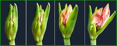Aufblühen einer  Amaryllis 1  ©UdoSm