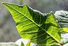 Poinsettia leaf 1