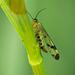 Scorpian Fly