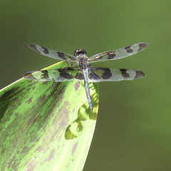 Banded pennant (M)
