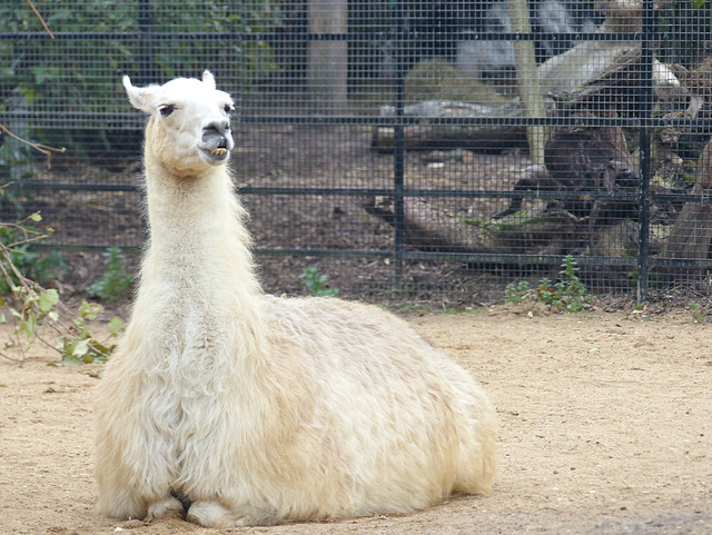 London Zoo Llama (1) - 16 October 2015