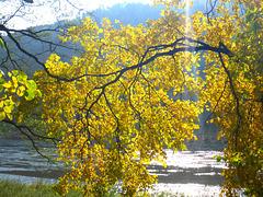Herbstblätter im Sonnenlicht - aŭtunaj folioj en sunlumo