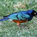 Superb starling (Explored)