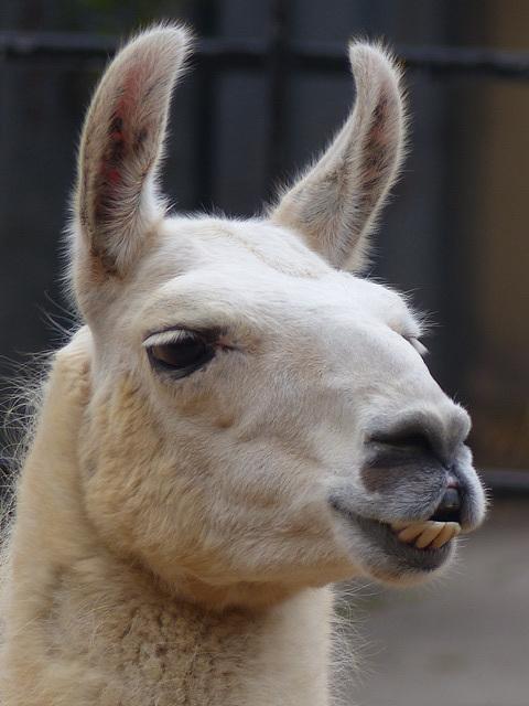 London Zoo Llama (3) - 16 October 2015