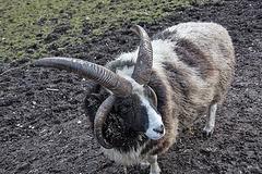 20160306 0326VRAw [D~BI] Jakobschaf (Ovis orientalis