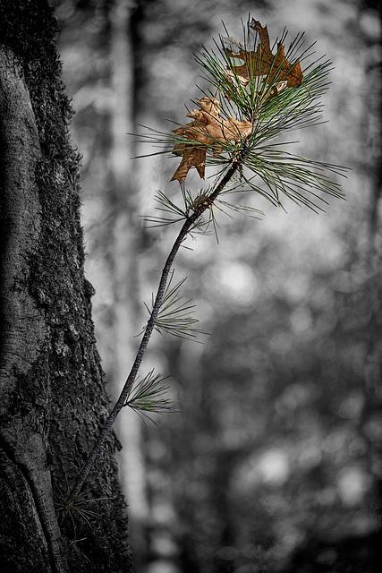 111/366: Sapling Pine Growing in Oak Tree