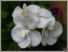 ** Géranium blanc **