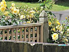 Fenceline Roses.