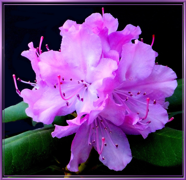 Spring Rhododendron.  ©UdoSm